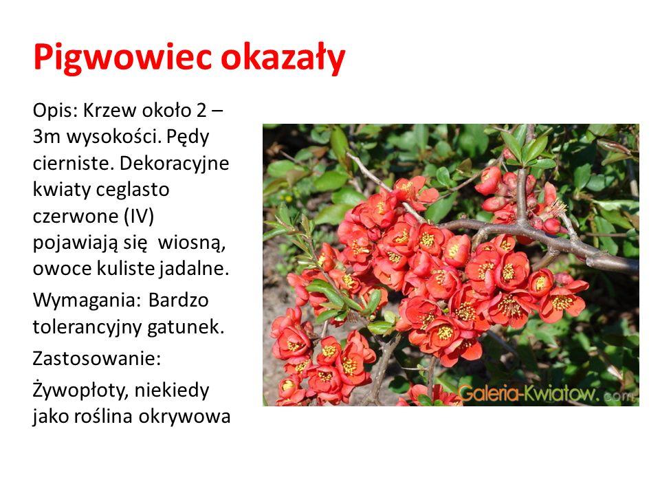 Pigwowiec okazały Opis: Krzew około 2 – 3m wysokości. Pędy cierniste. Dekoracyjne kwiaty ceglasto czerwone (IV) pojawiają się wiosną, owoce kuliste ja