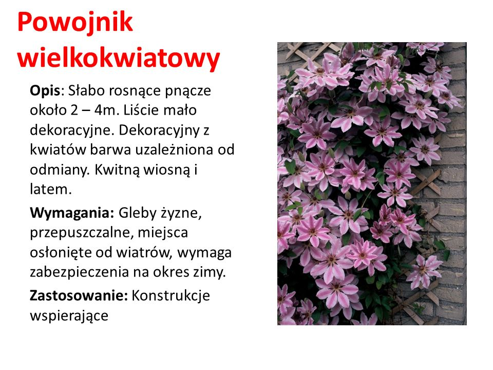 Powojnik wielkokwiatowy Opis: Słabo rosnące pnącze około 2 – 4m. Liście mało dekoracyjne. Dekoracyjny z kwiatów barwa uzależniona od odmiany. Kwitną w