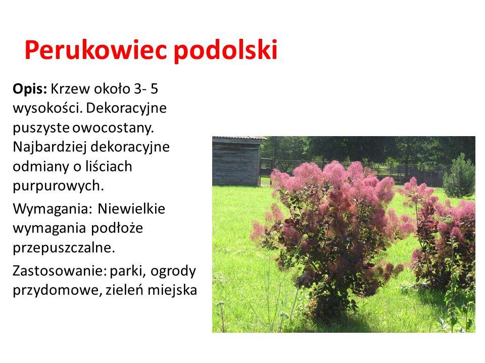 Perukowiec podolski Opis: Krzew około 3- 5 wysokości. Dekoracyjne puszyste owocostany. Najbardziej dekoracyjne odmiany o liściach purpurowych. Wymagan