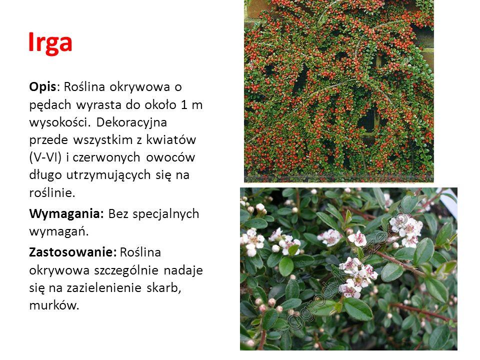 Irga Opis: Roślina okrywowa o pędach wyrasta do około 1 m wysokości. Dekoracyjna przede wszystkim z kwiatów (V-VI) i czerwonych owoców długo utrzymują