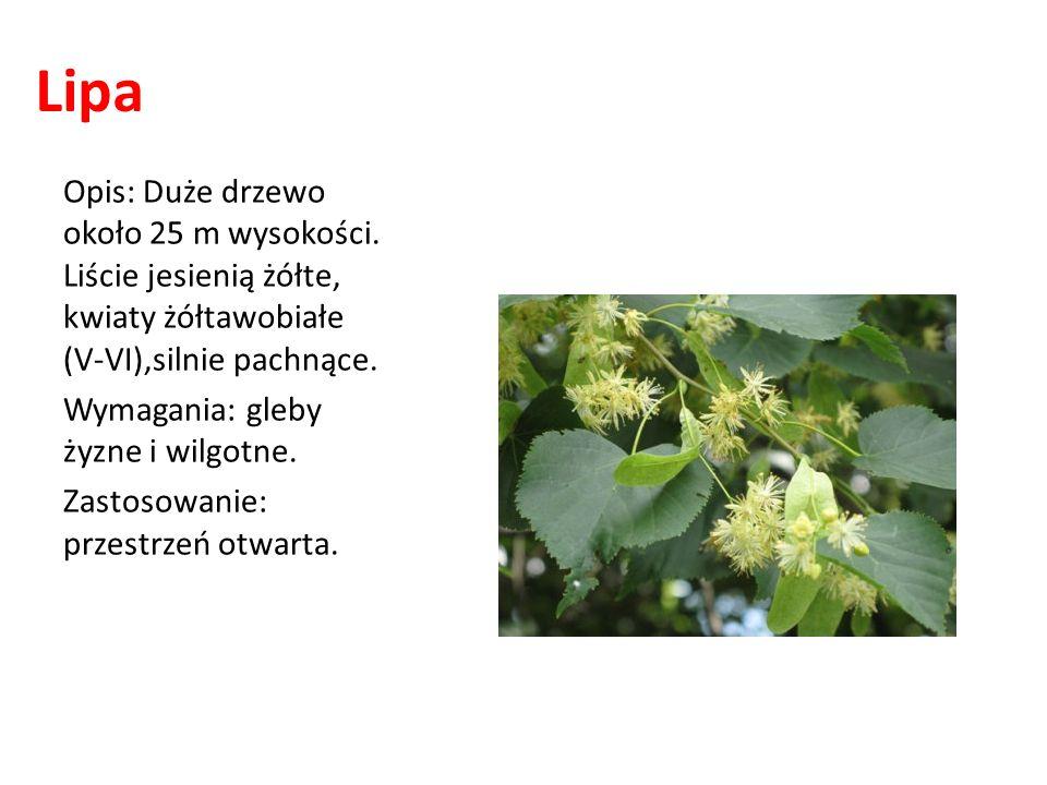 Lipa Opis: Duże drzewo około 25 m wysokości. Liście jesienią żółte, kwiaty żółtawobiałe (V-VI),silnie pachnące. Wymagania: gleby żyzne i wilgotne. Zas