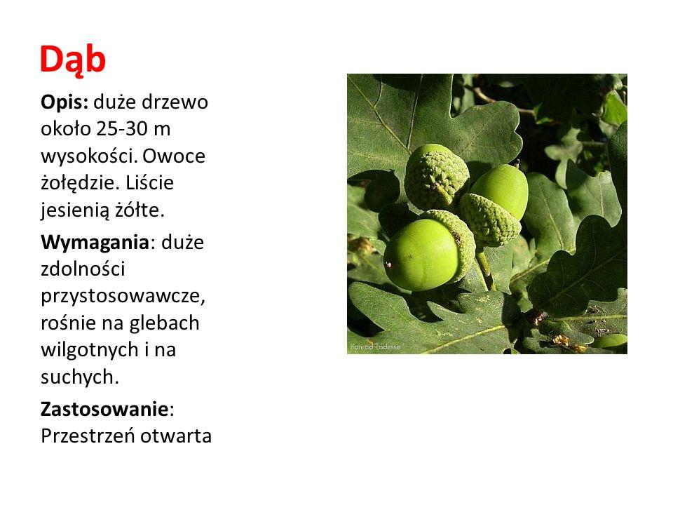 Dąb Opis: duże drzewo około 25-30 m wysokości. Owoce żołędzie. Liście jesienią żółte. Wymagania: duże zdolności przystosowawcze, rośnie na glebach wil