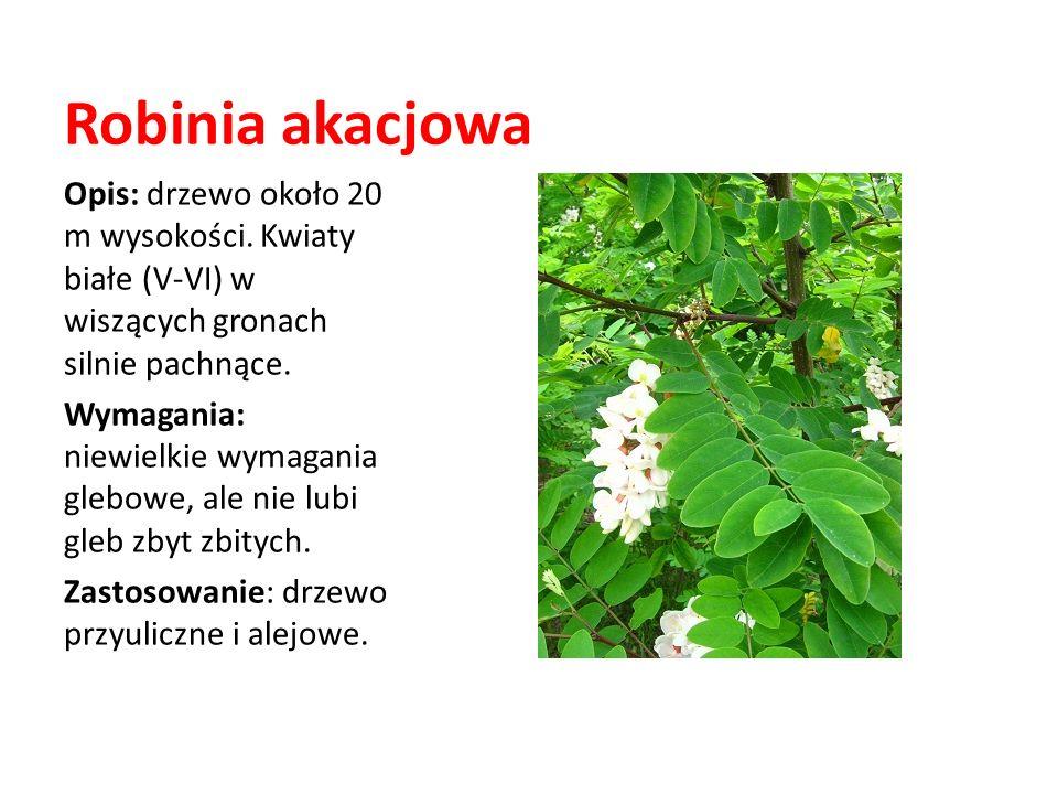 Robinia akacjowa Opis: drzewo około 20 m wysokości. Kwiaty białe (V-VI) w wiszących gronach silnie pachnące. Wymagania: niewielkie wymagania glebowe,