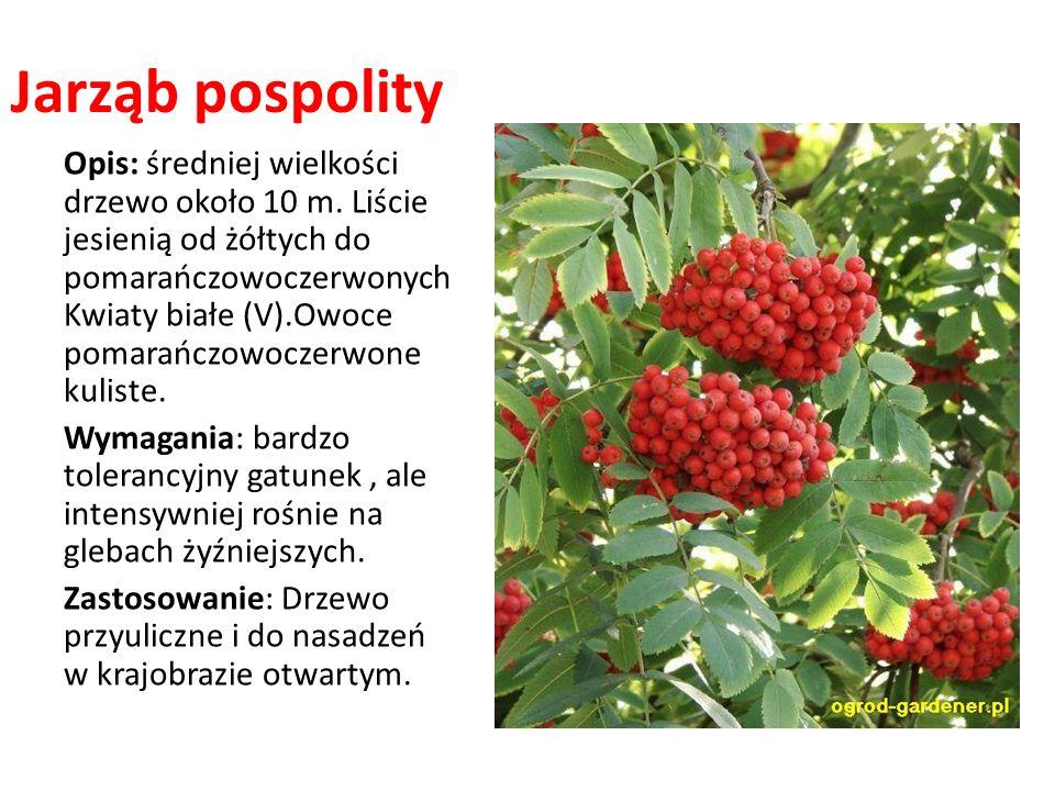Jarząb pospolity Opis: średniej wielkości drzewo około 10 m. Liście jesienią od żółtych do pomarańczowoczerwonych Kwiaty białe (V).Owoce pomarańczowoc