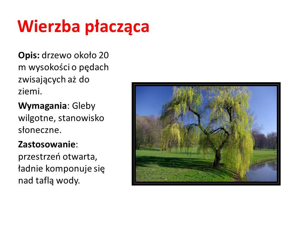 Wierzba płacząca Opis: drzewo około 20 m wysokości o pędach zwisających aż do ziemi. Wymagania: Gleby wilgotne, stanowisko słoneczne. Zastosowanie: pr