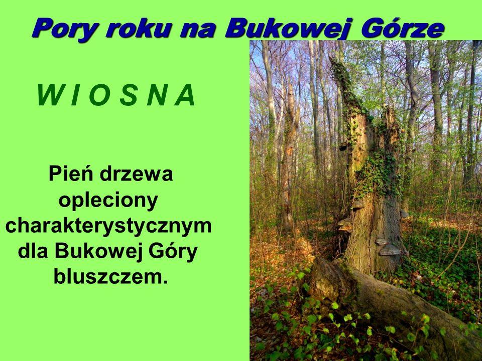 Pory roku na Bukowej Górze W I O S N A Pień drzewa opleciony charakterystycznym dla Bukowej Góry bluszczem.