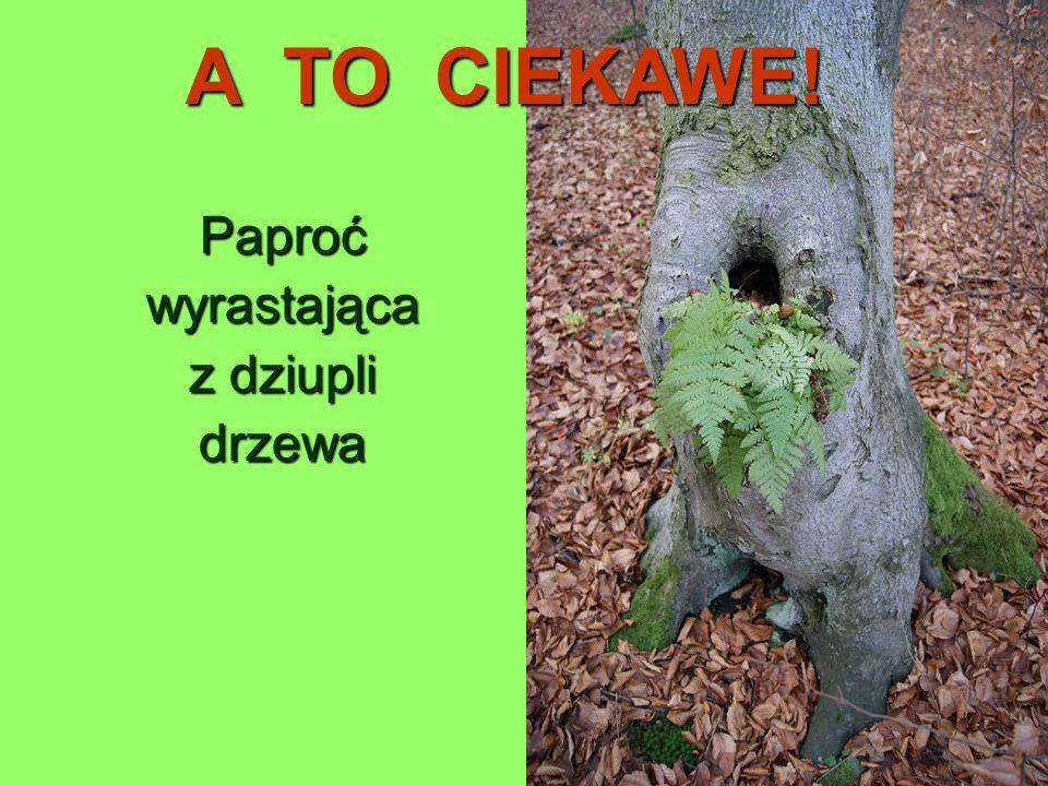 Paproćwyrastająca z dziupli drzewa A TO CIEKAWE!