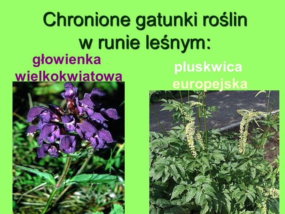 Chronione gatunki roślin w runie leśnym: głowienka wielkokwiatowa pluskwica europejska