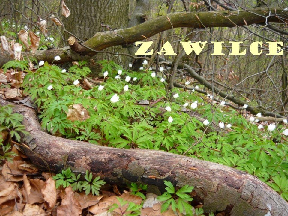 Zawilce
