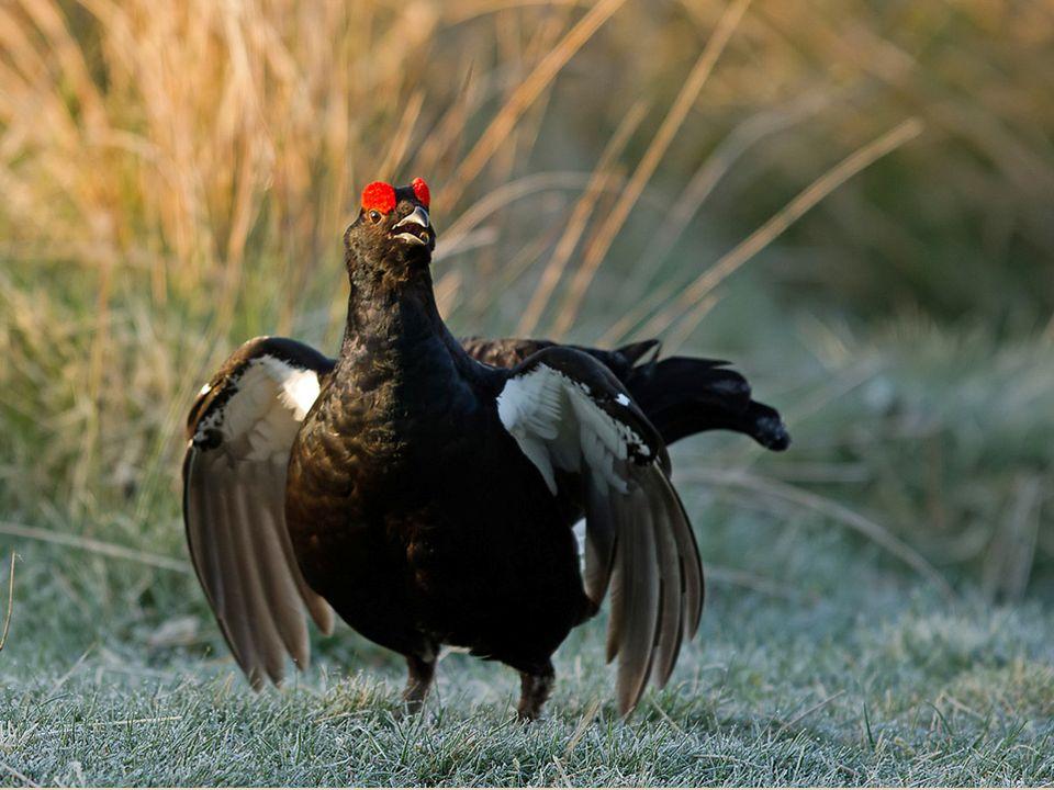 Orlik krzykliwy- gatunek chroniony w Polsce w czerwonej księdze zwierząt