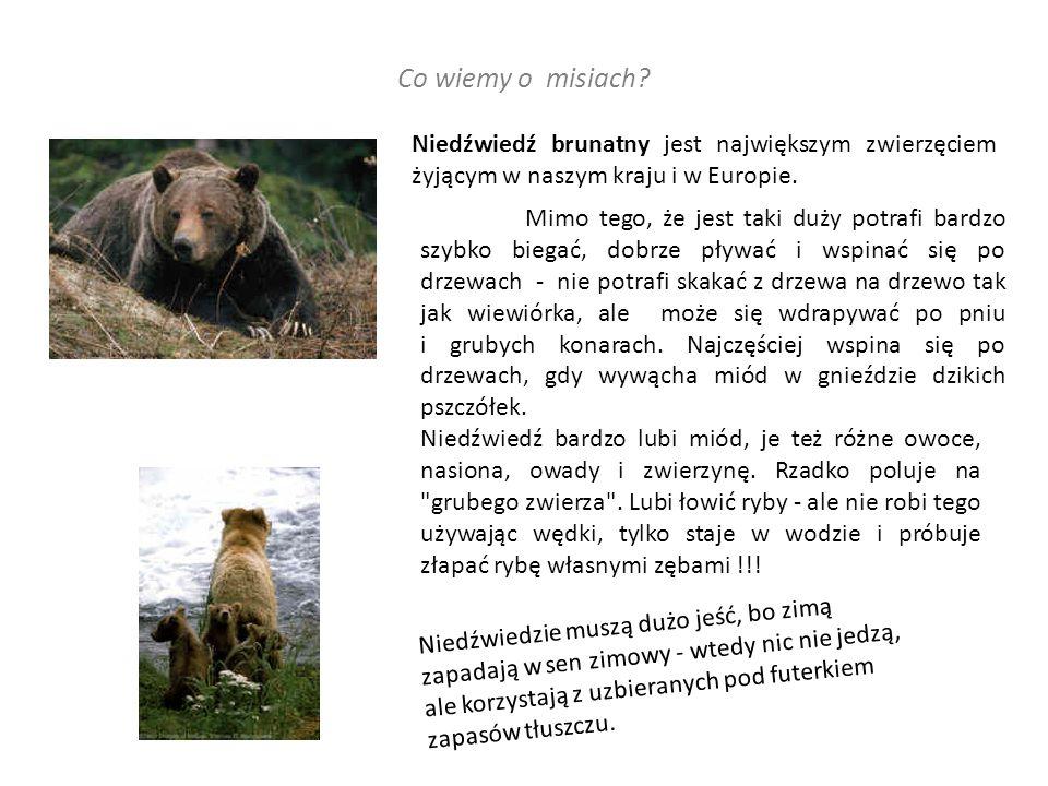 Niedźwiedź brunatny jest największym zwierzęciem żyjącym w naszym kraju i w Europie.