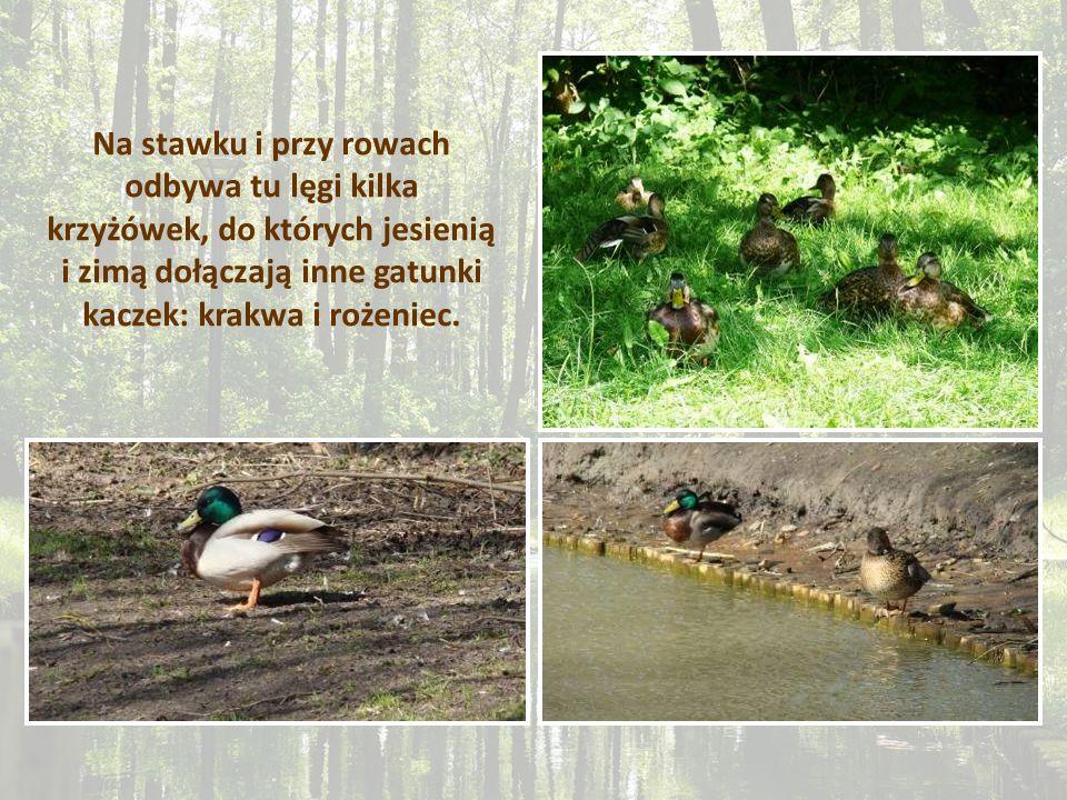 Na stawku i przy rowach odbywa tu lęgi kilka krzyżówek, do których jesienią i zimą dołączają inne gatunki kaczek: krakwa i rożeniec.