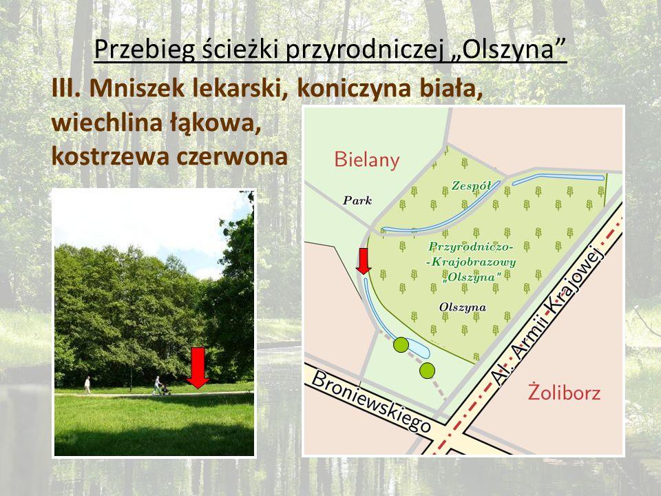 Przebieg ścieżki przyrodniczej Olszyna III. Mniszek lekarski, koniczyna biała, wiechlina łąkowa, kostrzewa czerwona