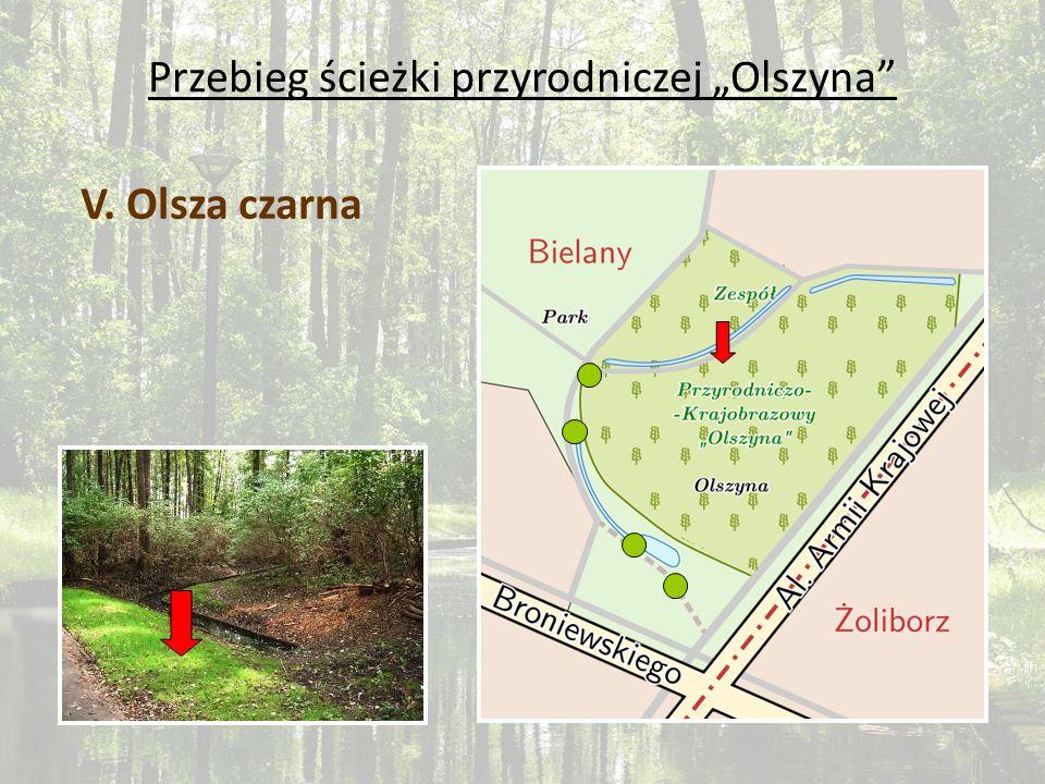 Przebieg ścieżki przyrodniczej Olszyna V. Olsza czarna