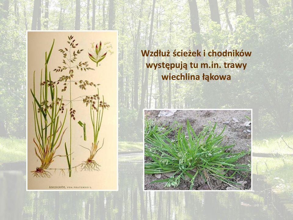 Wzdłuż ścieżek i chodników występują tu m.in. trawy wiechlina łąkowa