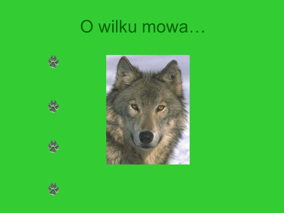 WILK – Canis lupus Gromada: ssaki Rząd: drapieżne Rodzina: psowate Długość głowy i tułowia: 100-160 cm Długość ogona: 30-50 cm Ciężar ciała: 40-70 kg Długość życia: około 8 – 16 lat (na wolności)