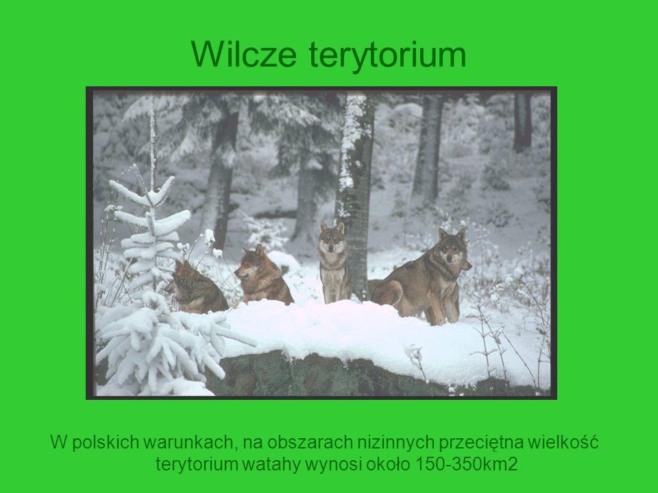 Wilcze terytorium W polskich warunkach, na obszarach nizinnych przeciętna wielkość terytorium watahy wynosi około 150-350km2