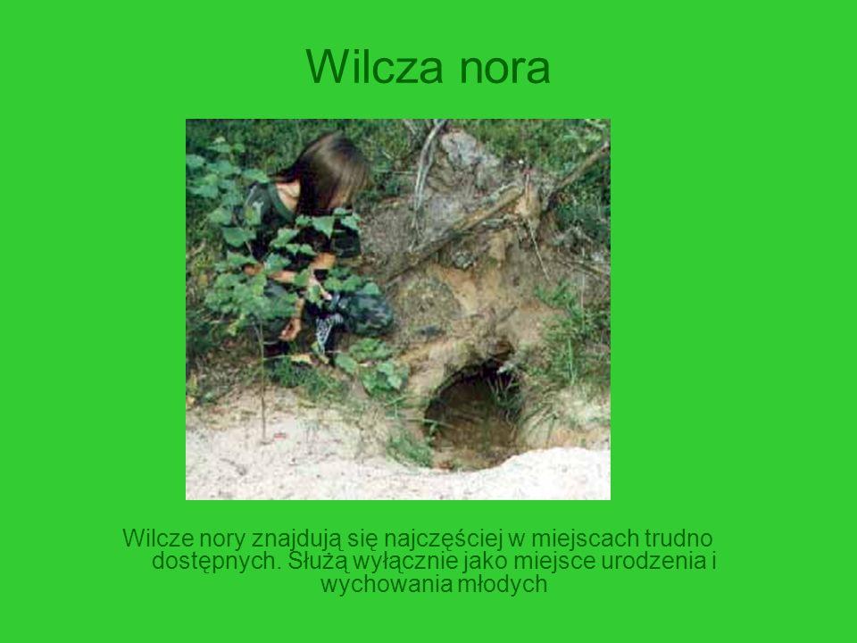 Wilcza nora Wilcze nory znajdują się najczęściej w miejscach trudno dostępnych. Służą wyłącznie jako miejsce urodzenia i wychowania młodych