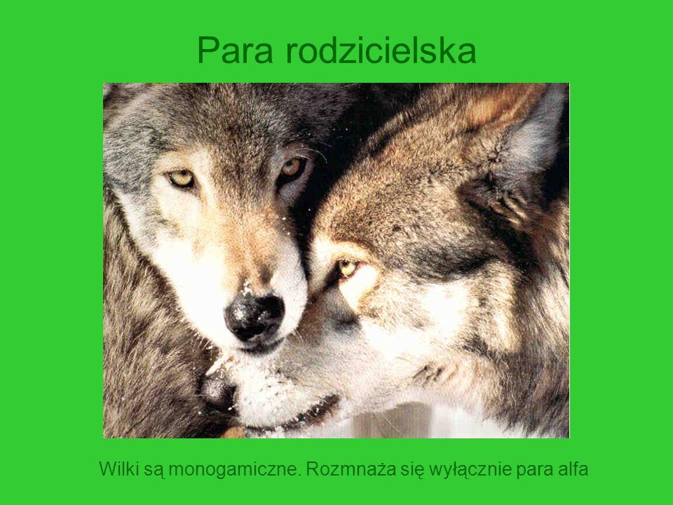Para rodzicielska Wilki są monogamiczne. Rozmnaża się wyłącznie para alfa