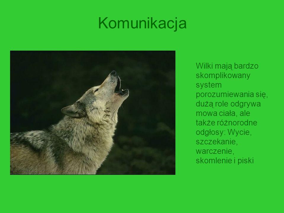 Komunikacja Wilki mają bardzo skomplikowany system porozumiewania się, dużą role odgrywa mowa ciała, ale także różnorodne odgłosy: Wycie, szczekanie,
