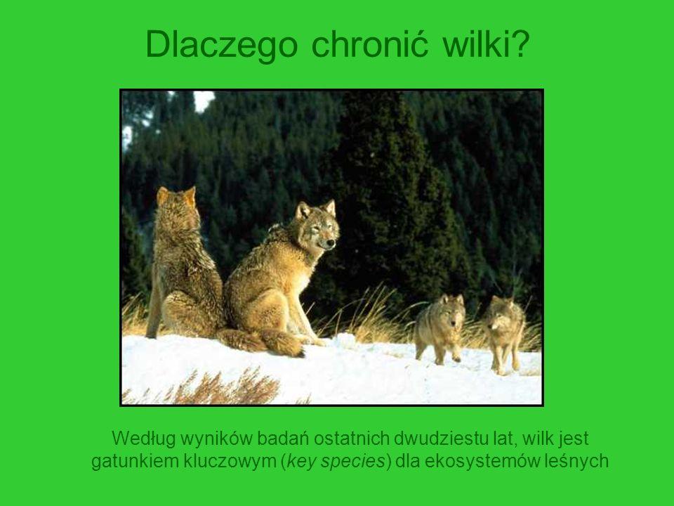 Dlaczego chronić wilki? Według wyników badań ostatnich dwudziestu lat, wilk jest gatunkiem kluczowym (key species) dla ekosystemów leśnych