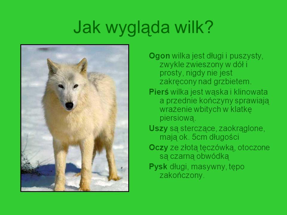 Jak wygląda wilk? Ogon wilka jest długi i puszysty, zwykle zwieszony w dół i prosty, nigdy nie jest zakręcony nad grzbietem. Pierś wilka jest wąska i