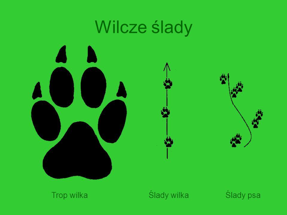 Wilcze ślady Trop wilkaŚlady wilkaŚlady psa