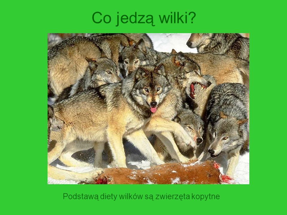 Co jedzą wilki? Podstawą diety wilków są zwierzęta kopytne