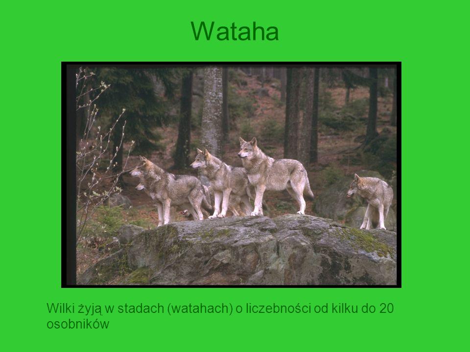 Struktura watahy Para alfa - osobniki dominujące.Kierują poczynaniami całej grupy.
