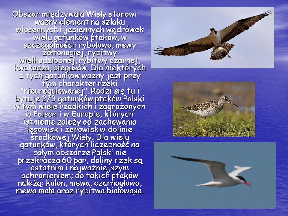 Obszar międzywala Wisły stanowi ważny element na szlaku wiosennych i jesiennych wędrówek wielu gatunków ptaków, w szczególności: rybołowa, mewy żółtonogiej, rybitwy wielkodziobnej, rybitwy czarnej, kwokacza, biegusów.