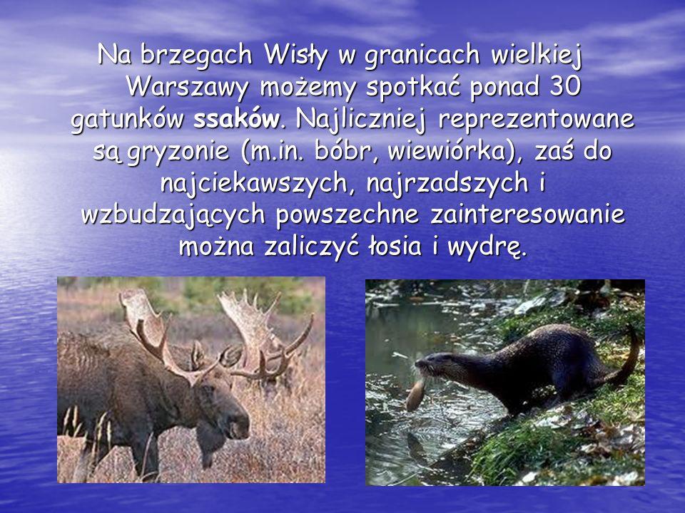 Na brzegach Wisły w granicach wielkiej Warszawy możemy spotkać ponad 30 gatunków ssaków. Najliczniej reprezentowane są gryzonie (m.in. bóbr, wiewiórka