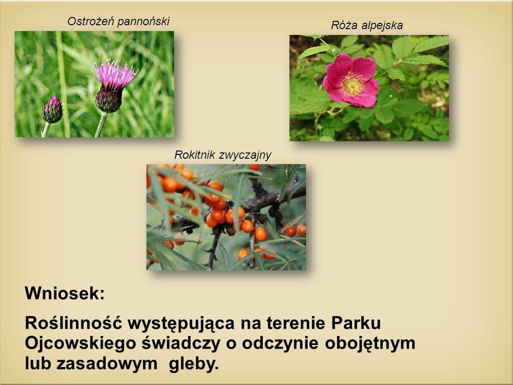 Róża alpejska Ostrożeń pannoński Rokitnik zwyczajny Wniosek: Roślinność występująca na terenie Parku Ojcowskiego świadczy o odczynie obojętnym lub zas