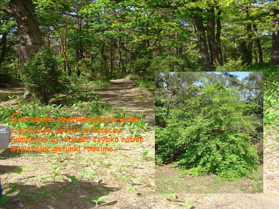 C zeremcha amerykańska to jeden z gatunków obcych w Puszczy Kampinoskiej, bardzo szybko rośnie wypierając gatunki rodzime.