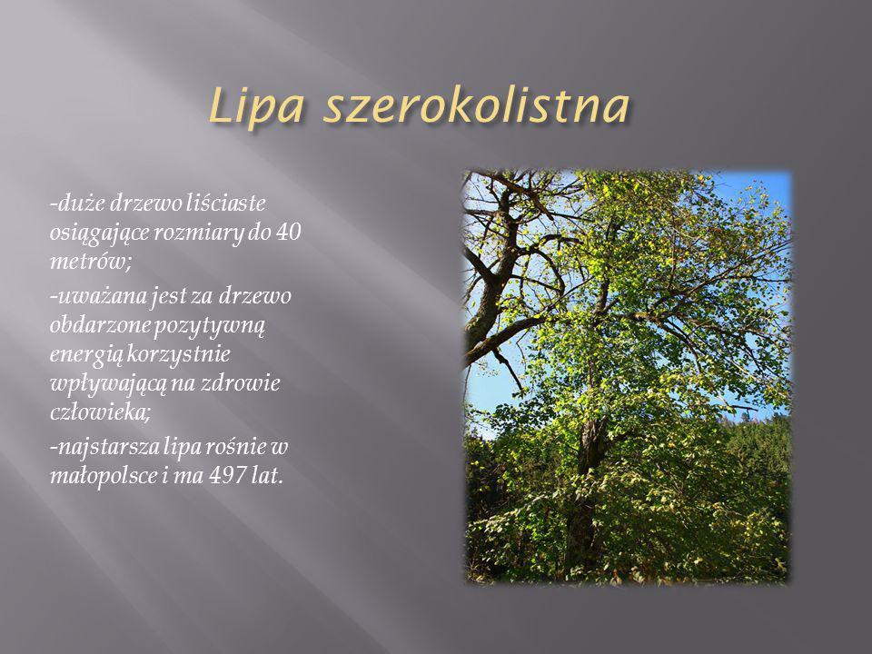 Lipa szerokolistna -duże drzewo liściaste osiągające rozmiary do 40 metrów; -uważana jest za drzewo obdarzone pozytywną energią korzystnie wpływającą na zdrowie człowieka; -najstarsza lipa rośnie w małopolsce i ma 497 lat.