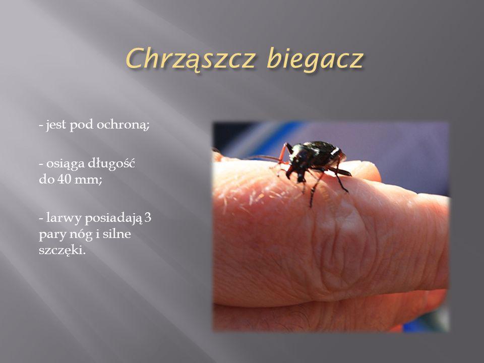 Chrz ą szcz biegacz - jest pod ochroną; - osiąga długość do 40 mm; - larwy posiadają 3 pary nóg i silne szczęki.