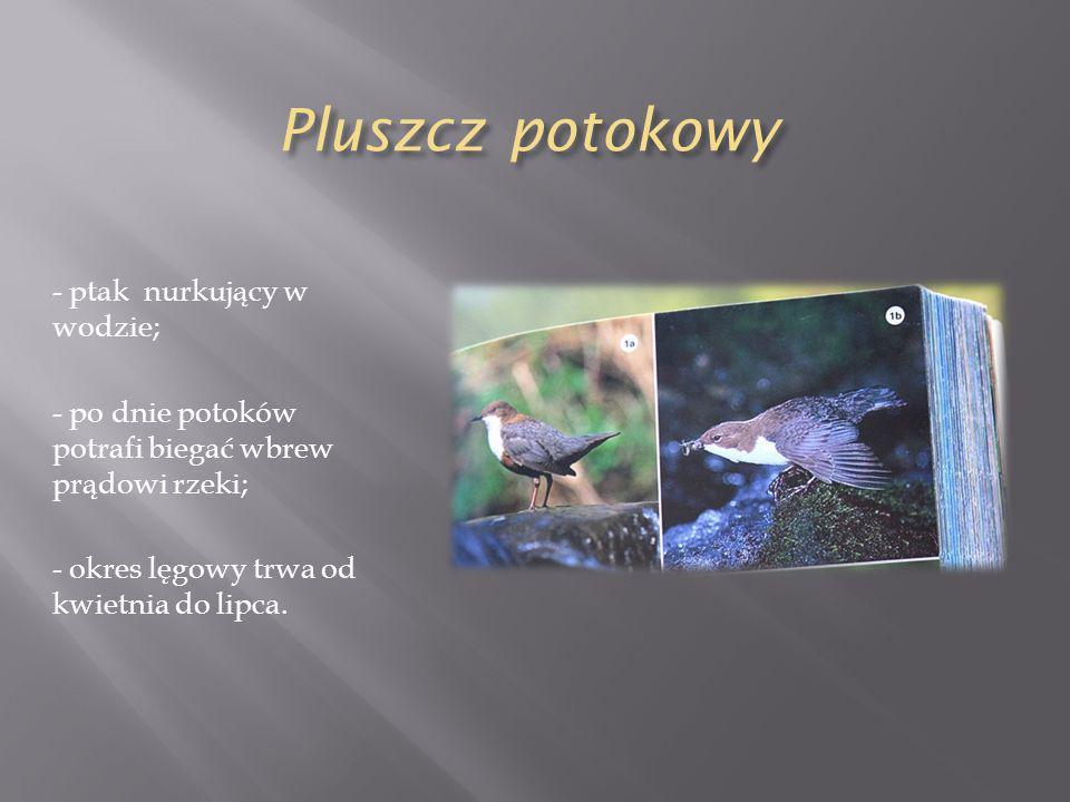 Pluszcz potokowy - ptak nurkujący w wodzie; - po dnie potoków potrafi biegać wbrew prądowi rzeki; - okres lęgowy trwa od kwietnia do lipca.