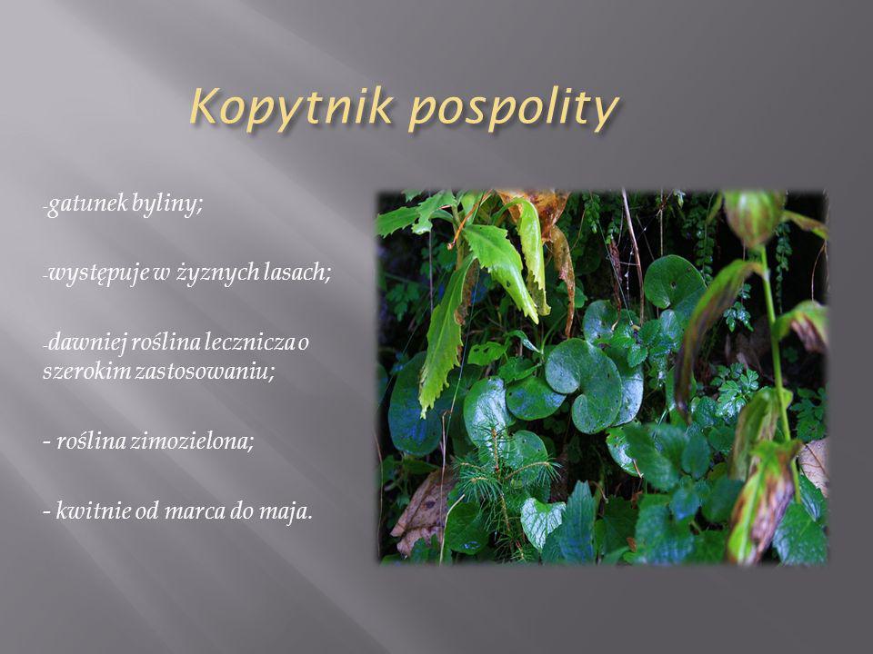 Kopytnik pospolity - gatunek byliny; - występuje w żyznych lasach; - dawniej roślina lecznicza o szerokim zastosowaniu; - roślina zimozielona; - kwitnie od marca do maja.