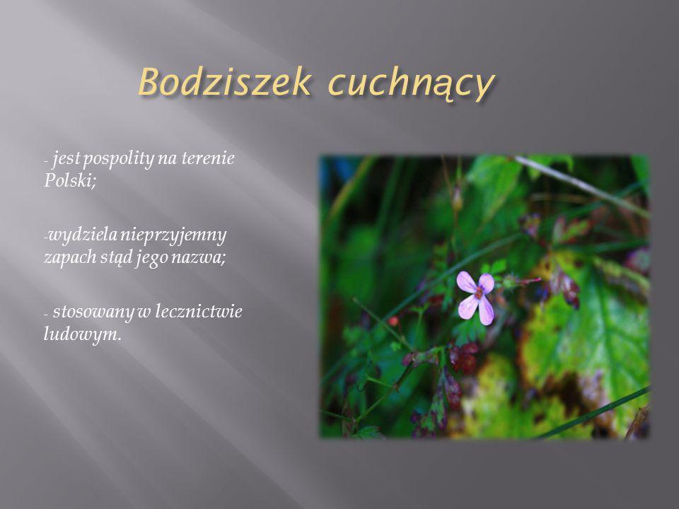 Bodziszek cuchn ą cy - jest pospolity na terenie Polski; - wydziela nieprzyjemny zapach stąd jego nazwa; - stosowany w lecznictwie ludowym.