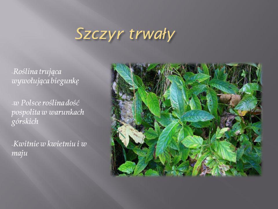 Szczyr trwa ł y - Roślina trująca wywołująca biegunkę - w Polsce roślina dość pospolita w warunkach górskich - Kwitnie w kwietniu i w maju