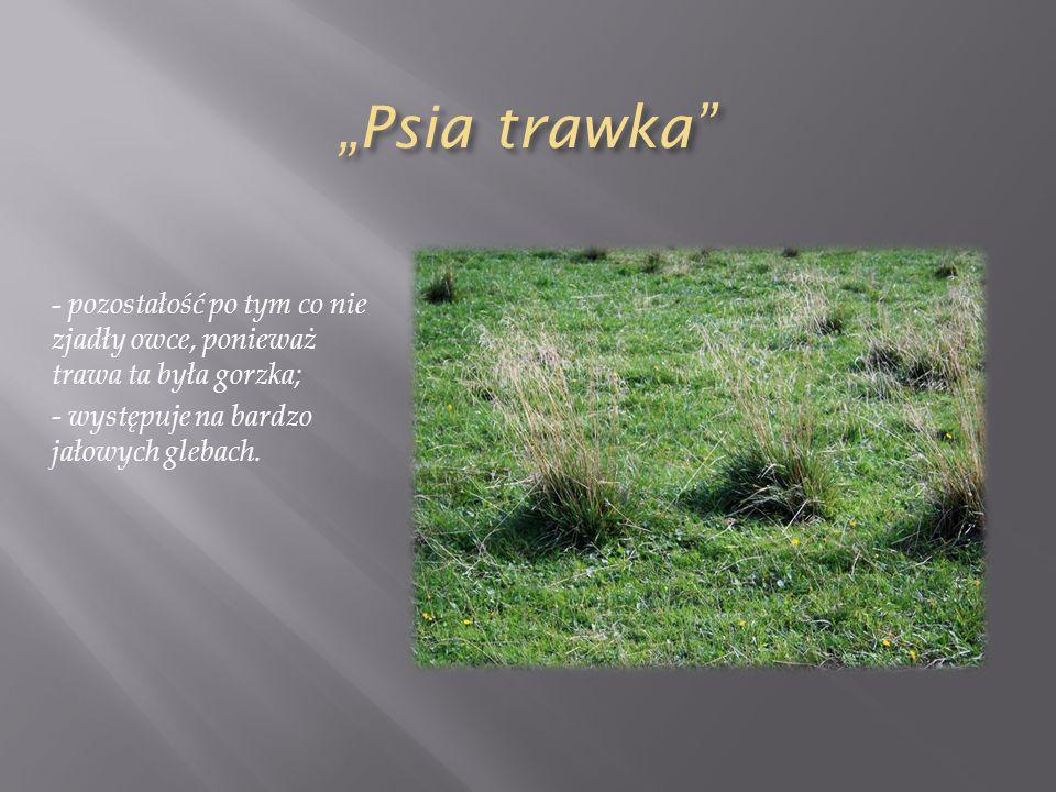 Psia trawka - pozostałość po tym co nie zjadły owce, ponieważ trawa ta była gorzka; - występuje na bardzo jałowych glebach.