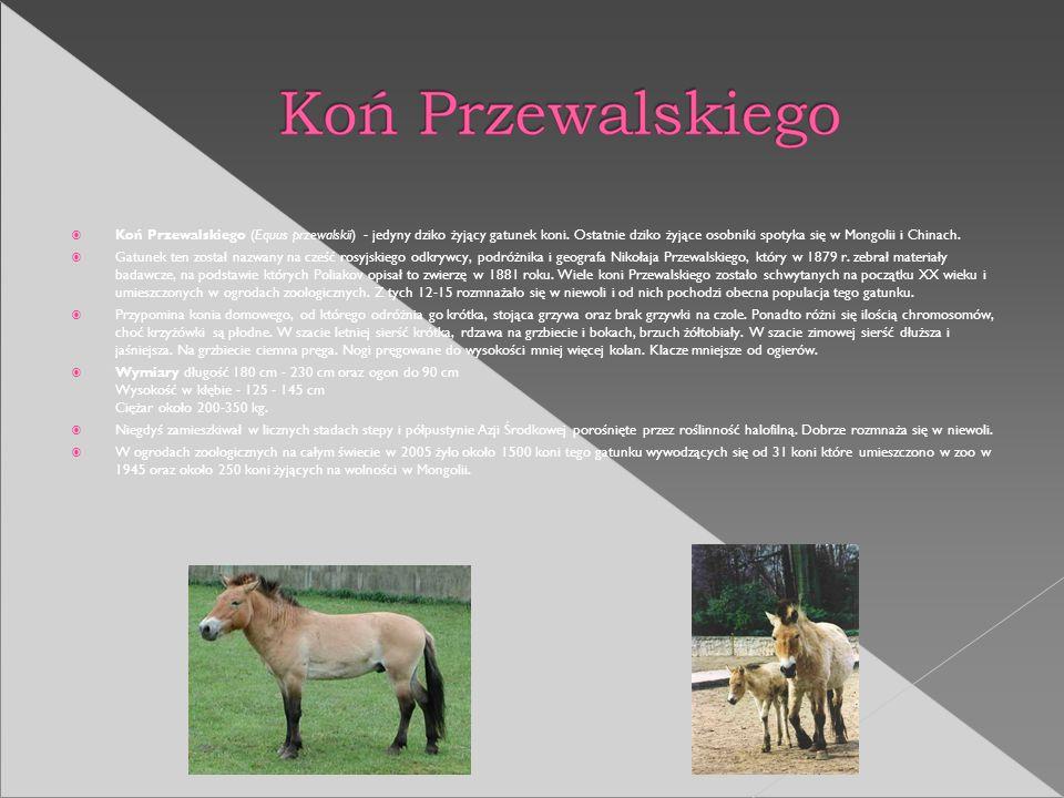 Koń Przewalskiego (Equus przewalskii) - jedyny dziko żyjący gatunek koni. Ostatnie dziko żyjące osobniki spotyka się w Mongolii i Chinach. Gatunek ten
