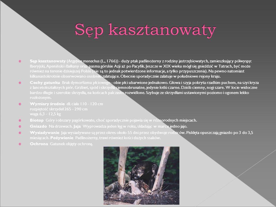 Sęp kasztanowaty (Aegypius monachus (L., 1766)) - duży ptak padlinożerny z rodziny jastrzębiowatych, zamieszkujący półwyspy: Iberyjski, Apeniński i Ba