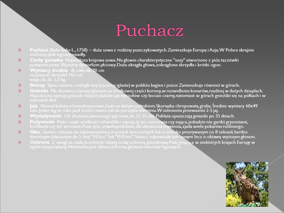 Puchacz (Bubo bubo L., 1758) – duża sowa z rodziny puszczykowatych. Zamieszkuje Europę i Azję. W Polsce skrajnie nieliczny ptak lęgowy, osiadły. Cechy