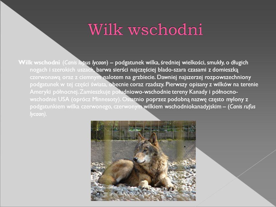 Wilk wschodni (Canis lupus lycaon) – podgatunek wilka, średniej wielkości, smukły, o długich nogach i szerokich uszach, barwa sierści najczęściej blad