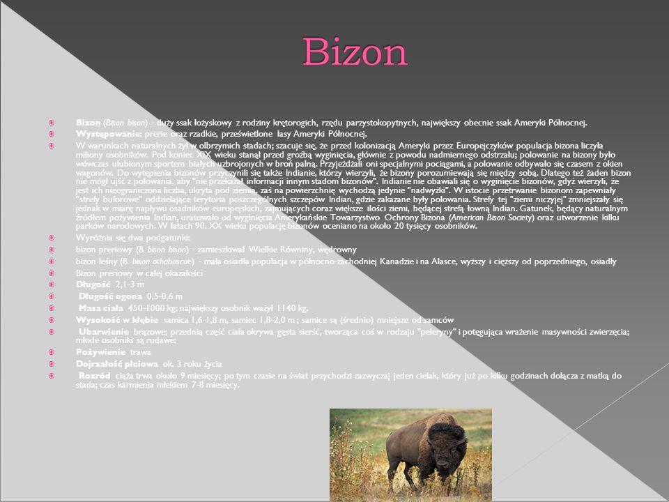 Bizon (Bison bison) - duży ssak łożyskowy z rodziny krętorogich, rzędu parzystokopytnych, największy obecnie ssak Ameryki Północnej. Występowanie: pre