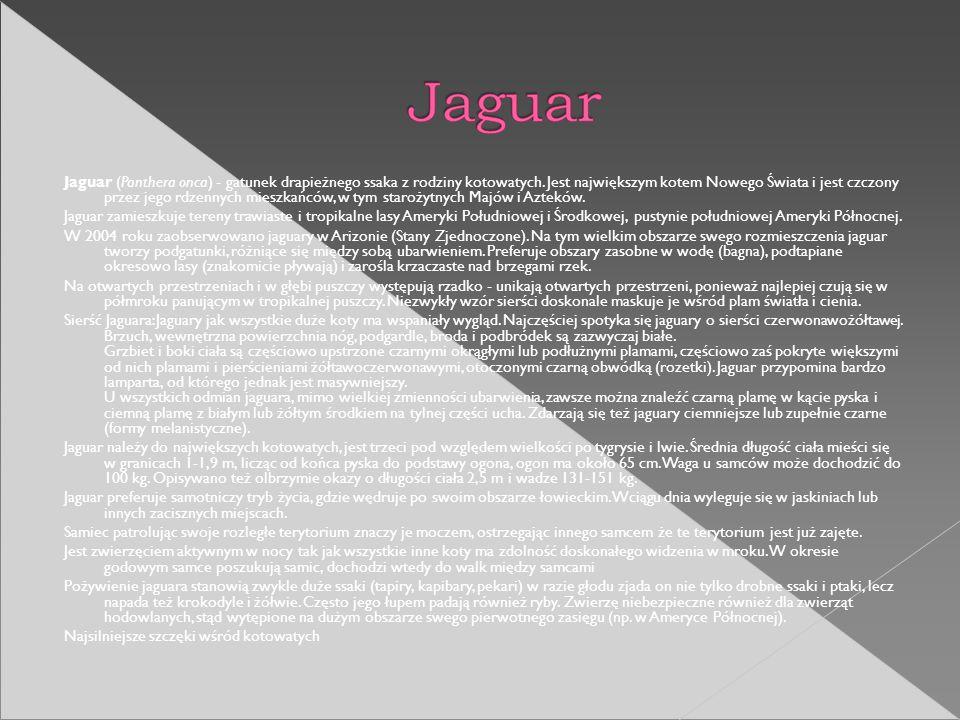 Jaguar (Panthera onca) - gatunek drapieżnego ssaka z rodziny kotowatych. Jest największym kotem Nowego Świata i jest czczony przez jego rdzennych mies
