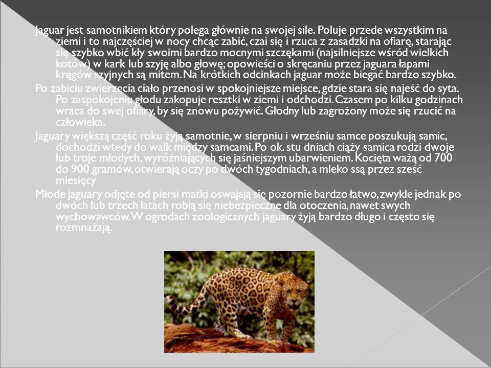 Jaguar jest samotnikiem który polega głównie na swojej sile. Poluje przede wszystkim na ziemi i to najczęściej w nocy chcąc zabić, czai się i rzuca z