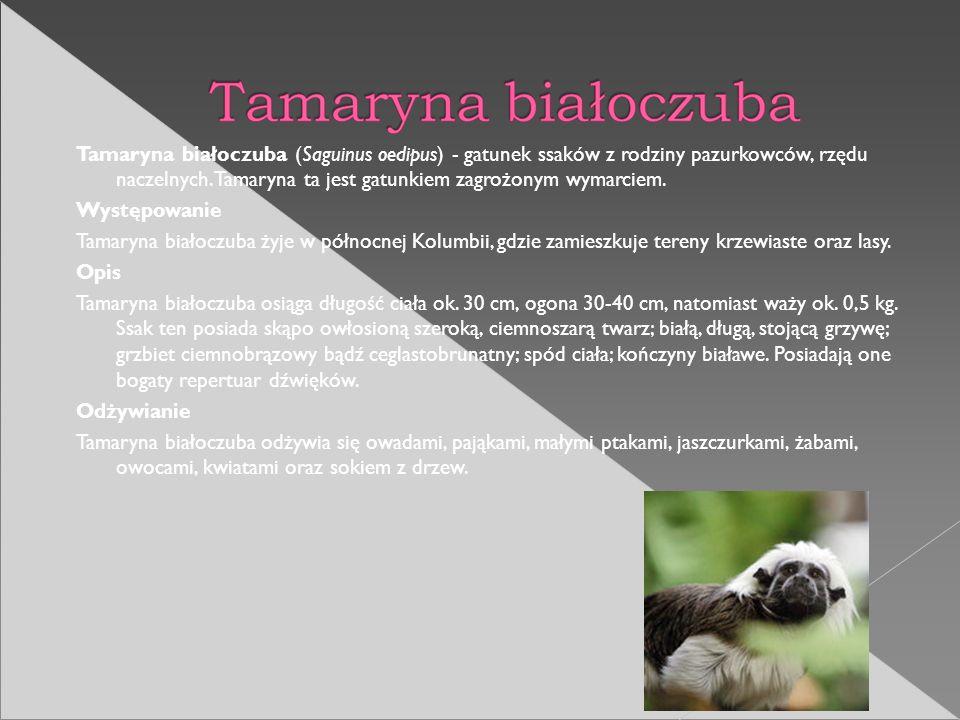 Tamaryna białoczuba (Saguinus oedipus) - gatunek ssaków z rodziny pazurkowców, rzędu naczelnych. Tamaryna ta jest gatunkiem zagrożonym wymarciem. Wyst