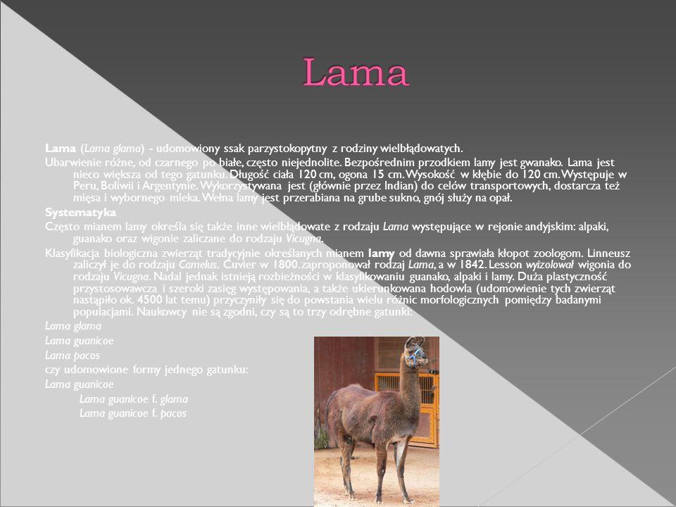Lama (Lama glama) - udomowiony ssak parzystokopytny z rodziny wielbłądowatych. Ubarwienie różne, od czarnego po białe, często niejednolite. Bezpośredn