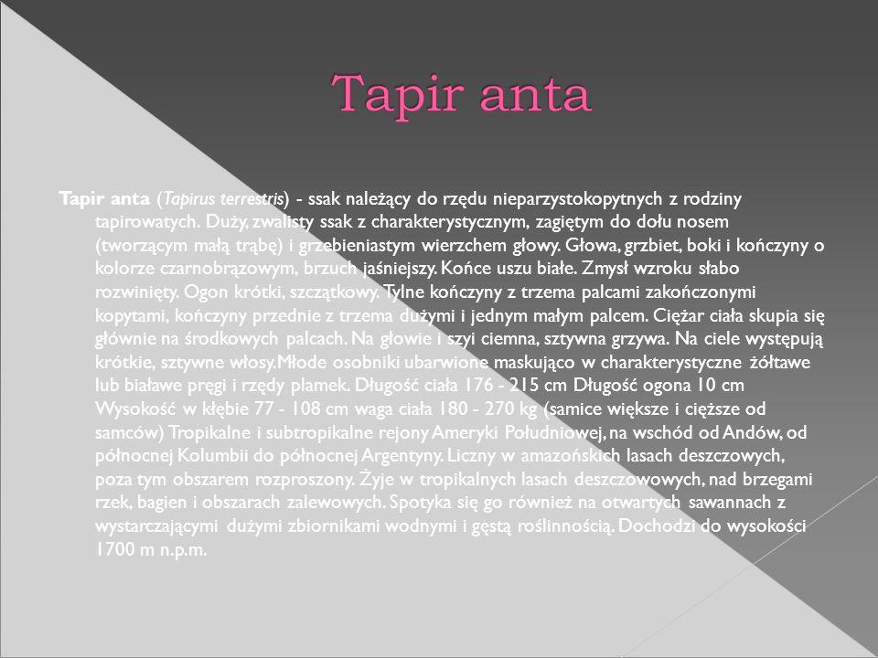 Tapir anta (Tapirus terrestris) - ssak należący do rzędu nieparzystokopytnych z rodziny tapirowatych. Duży, zwalisty ssak z charakterystycznym, zagięt